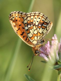 This was an important butterfly to Clegg. He won a hobby prize off of a case of them