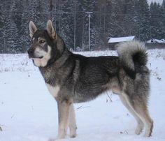 Jämthund / Jamthund Swedish Elkhound Dog Puppy