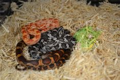 Check out our newly added baby corn snakes!   #CornSnakes #CornSnake #SnakesOnline #OnlineSnakes #StrictlyReptiles #BuySnakesOnline #CornSnakeBreeders #OnlineReptileStore #WholesaleSnakes