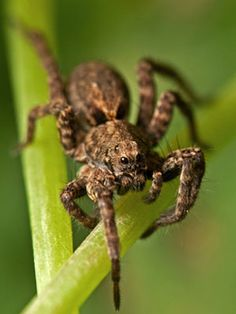The wolf spider is common all over the United States. It doesn't weave webs, and it gets its name from its habit of stalking prey like a wolf. The wolf spider is brown or gray in color and can be 3 to 4 inches across. Because some wolf spiders are large and hairy, they are sometimes mistaken for tarantulas.YUCK!!!!!!!!!!!!!!!!!!im dy heaving