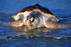 How you can help save Florida sea turtles from power plant pipes