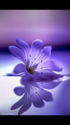 Sweet beauty by Ann-Charlotte Fjærevik Lotus Flower Pictures, Rose Flower Photos, Beautiful Flowers Photos, Beautiful Flowers Wallpapers, Beautiful Roses, Pretty Flowers, Flower Art, Purple Flowers Wallpaper, Pop Art Wallpaper