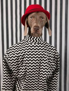 """MAN ABOUT TOWN """"DOGGY STYLE"""" WILLIAM WEGMAN, STYLE BY SAMUEL FRANCOIS"""