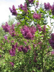 Tips for Caring for Lilacs: Cutting Back Lilac Bushes | Parenting Patch