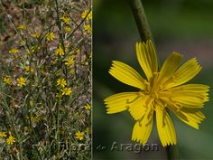 chondrilla juncea (achicoria dulce o lechuguilla) Hierba anual, bienal o perenne con tallos provistos de latex. Florece en junio-agosto.