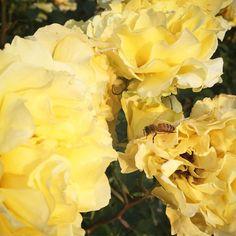 はちさんぶんぶん #公園 #park #散歩 #蜂 #花 #flower #薔薇 #バラ #rose # #