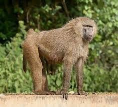 """Résultat de recherche d'images pour """"babouin"""""""