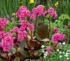 "Bergenia Cabernet - Hardiness Zone:  4-8     Height: 12""    Deer Resistant: Yes    Exposure: Part Shade    Blooms In: April-May"