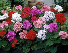 Pelargonium zonale Large Flowers, Colorful Flowers, Pink Flowers, Beautiful Flowers, Growing Flowers, Planting Flowers, Balloon Flowers, Malva, Organic Plants