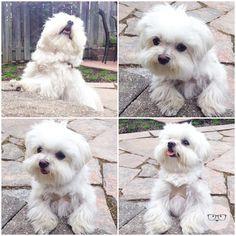 Milo Maltese - what a cute baby boy!