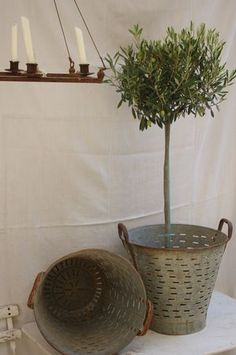 olive buckets make a great planter! I want a lemon and olive tree in mine!!