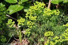 Euphorbia cyparissias - Cipreswolfsmelk