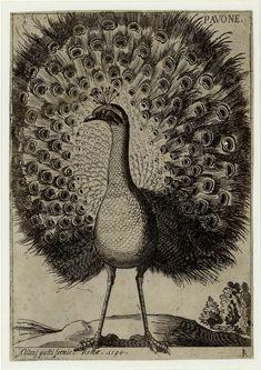 #Paon par Jacques Fornazeris, graveur français. Il pratique son #art à #Lyon de 1600 à 1619 (gravure, dessin et édition). Il contribue à généraliser la technique du burin pour des #estampes destinées à l'illustration de #livres et favorise la technique de la #gravure sur cuivre. Ses gravures, délicates évoquent tout à la fois l'orfévrerie, la broderie et l'enluminure #numelyo #volatile #bestiaire Peacock Art, Hyena, Illustration, Vintage World Maps, Printables, Birds, Prints, Groot, Collage