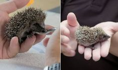 Volunteers look after adorable tiny hoglets who were abandoned by their mothers Pebble Beach, Volunteers, Mail Online, Daily Mail, Abandoned, Mothers, Meet, Paintings, Drawings