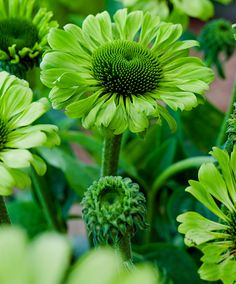 Plant coneflower 'Green Jewel' for brightness and color contrast in the garden.
