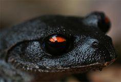 Black tree frog