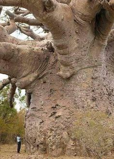 Mammut-Baum huge really huge