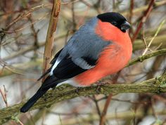 The Calm Before the Bullfinch | The Featured Creature: Showcasing Unique and Unusual Wildlife