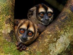 Noisy Night Monkeys, Ecuador Photograph by Tim Laman, National Geographic