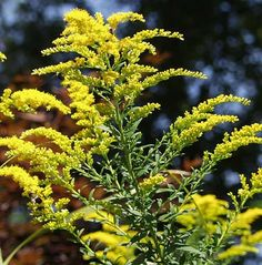 Goldenrod (Canadian Goldenrod)  Goldenrod is a perennial plant that is well-known for its healing properties. This wild edible is a plant that reproduces through its roots, bulbs, stems and by its seed. Goldenrod does not cause seasonal allergies as many tend to believe.  1. Edible Wild Plants: Wild Foods From Dirt To Plate: http://amzn.to/18PnRnx.  2. Edible Wild Plants: A North American Field Guide to Over 200 Natural Foods: http://amzn.to/16mp5XD