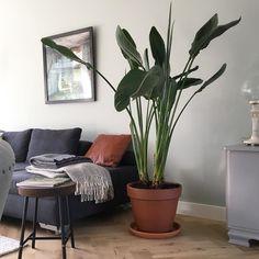 WoW blij met deze paradijsvogel! #paradijsvogelplant #plantinterior #planten #interieuradvies #interieurontwerp #studionest #projectheiloo #heiloo