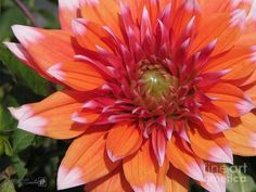 Dahlia Painting - Dahlia Named Color Spectacle by J McCombie