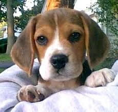 A Beagle puppy is the cutest little thing....