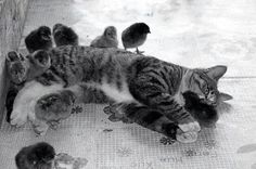The baby chicks are loving the kitty cat, and the kitty cat holding some chicks.. friends forever
