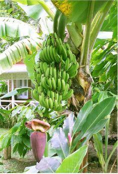 Banana tree full of frui