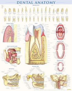 DENTAL ANATOMY This poster is perfect for dentists, periodontists, orthodontists or any doctor in need of the detailed reference for their patients.
