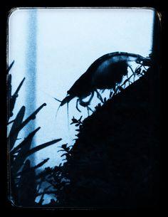 Silhouette of Amano shrimp at night