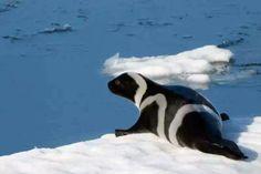Artic Ribbon Seal