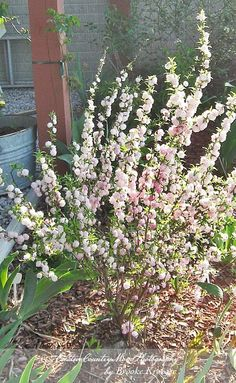 Flowering Almond,  I invite you to visit more of my Indiana garden on my site... http://creativecountrymom.blogspot.com/