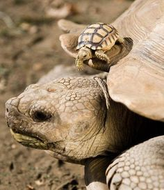 eight baby african spurred tortoises, each weighing about 25 grams, piggyback on their mother, who weighs about grams. photos by attila balazs. see also: baby galapagos tortoise with mom (for an even larger disparity) and baby turtles (turtles swim Baby Tortoise, Sulcata Tortoise, Tortoise Turtle, Cute Tortoise, Cute Turtles, Baby Turtles, Sea Turtles, Turtle Baby, Baby Animals
