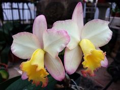 Cattlianthe 'Fairyland'  (Cattlianthe Candy Tuft x Cattleya Beaufort)
