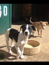 LURCHER PUPS FOR SALE!! - £150 each - Listed by Sell it socially     GLDI9097    has been published on Sell it Socially