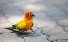 Sun Conure Parrot (1920x1200).