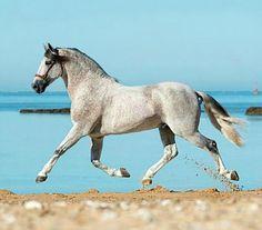 Pura Raza Española stallion, Duque CXIII. Flea-bitten gray.