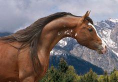 Chase N It Farm - Rhocky Rhoad -  Arabian Stallion