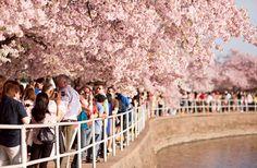 Cherry Blossoms Celebrate Spring