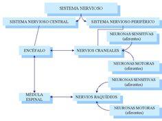 Mapa conceptual del sistema nervioso Central y Periférico: Cuadros sinópticos   Cuadro Comparativo