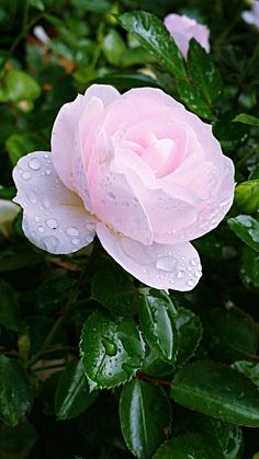 I can almost smell the SWEET Fragrance of this dewy rose! (LCSW)