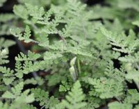 Cheilanthes lanosa - An easy to grow evergreen dwarf fern with silvery haired fronds year round unharmed by winter cold. Up to 15 cms high. Moist, well drained soil. Partial Shade. £4.00. Require a little protection from winter wet and we would reccomend a site where the overhang of shrubs or a wall may offer rain protection.