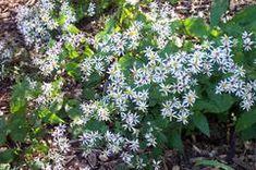 Eurybia divaricata 'Eastern Star' - Plant Finder
