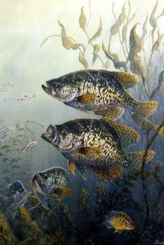"In this Doughty print the black crappies are feeding on the much smaller fish who are trying to swim for their lives. This print is available unframed in size 8""x12"""