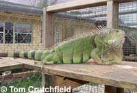 Care sheet for the green iguana (Iguana iguana).