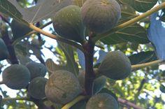 #fliiby Green Fig Smokva Tree WP 20150801 18 15 22 Pro https://fliiby.com/file/c7ctjcx5ph7/