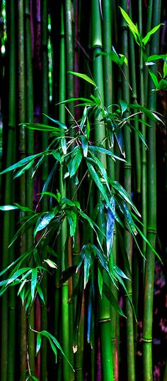 Bamboo By James Roemmling