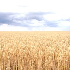 In the middle of a wheat field / @griottes
