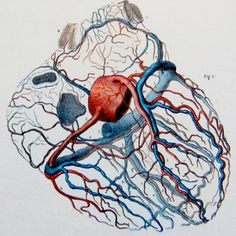 """Right and left coronary arteries, emerging from the origin of the aorta, veins of the heart and coronary sinus."" illustration by J. M. Bourgery from Atlas of Human Anatomy and Surgery / Atlas d'antomie Humaine et de Chirurgie"